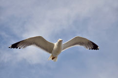 Yellow-legged Gull in flight Royalty Free Stock Photography