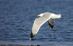 Yellow-legged Gull in Flight Royalty Free Stock Image