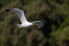 Yellow-legged Gull Flying Stock Photography