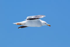 Yellow-legged gull flying view from the side Royalty Free Stock Image