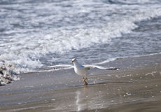 Yellow-legged gull, Galicia, Spain Royalty Free Stock Photos