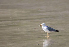 Yellow-legged gull, Galicia, Spain Stock Images
