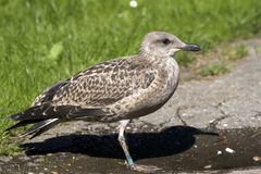 Yellow Legged-gull / Larus Cachinnans Royalty Free Stock Photography