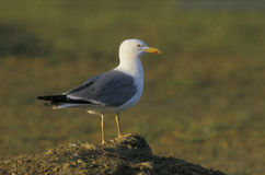 Yellow-legged gull, Larus cachinnans Royalty Free Stock Photo