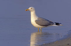 Yellow-legged gull, Larus cachinnans Stock Photos