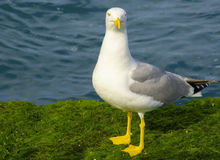 Yellow-legged Gull (Larus cachinnans) Stock Image