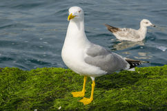 Yellow-legged Gull (Larus cachinnans) Royalty Free Stock Photo