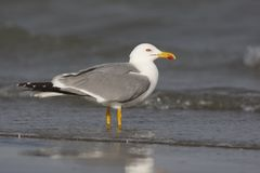 Yellow-legged gull, Larus cachinnans Stock Image