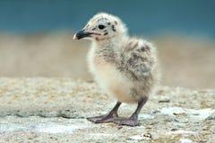 Yellow-legged Gull (Larus michahellis) Royalty Free Stock Images