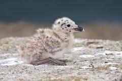 Yellow-legged Gull (Larus michahellis) Stock Photos