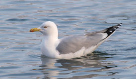 Yellow-legged Gull, Larus michahellis Stock Images