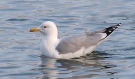 Yellow-legged Gull, Larus michahellis Stock Images