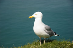 Yellow-legged Gull (Larus michahellis) Stock Images
