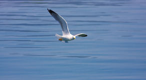 Yellow-legged Gull (Larus michahellis). Flying above the water royalty free stock photo
