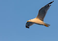 Yellow-legged gull (Larus michahellis) in blue sky background Stock Photography
