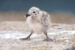 Yellow-legged Gull (Larus michahellis) chick on th Royalty Free Stock Image