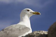 Yellow legged Gull Royalty Free Stock Image