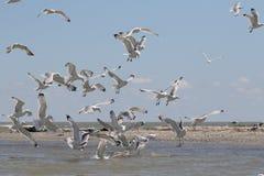 Yellow-legged gull, Larus michahellis Stock Image