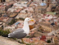 Yellow Legged Gull Stock Photography