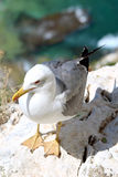 Yellow-legged Gull (Larus michahellis), in Penon de Ifach Royalty Free Stock Photo