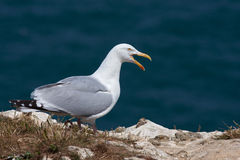 Yellow-legged gull Royalty Free Stock Images