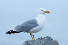 Yellow-legged gull Larus michahellis Stock Photo