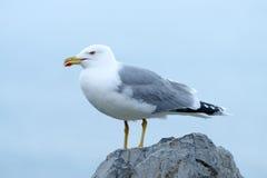 Yellow-legged gull Larus michahellis Stock Photos