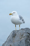 Yellow-legged gull Larus michahellis Royalty Free Stock Image