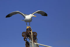 Yellow-legged gull (Larus michahellis) on the ship Royalty Free Stock Images
