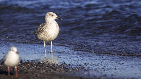 Yellow-legged Gull (Larus michahellis) Stock Photography