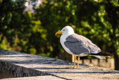 Yellow-legged gull. Resting on a wall Royalty Free Stock Images