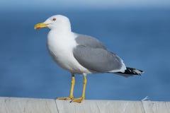 Yellow-Legged Gull Stock Images