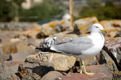 Yellow-legged gull Stock Photos