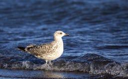 Yellow-legged Gull on the Seashore Royalty Free Stock Photography