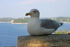 Yellow legged gull sitting on a stonewall stock photos