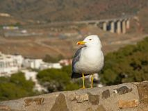 Yellow-legged gull sitting on a wall Larus michahellis. Yellow-legged gull sitting on a wall, selective focus with a blurry landscape behind Larus michahellis Royalty Free Stock Photo