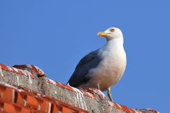 Yellow-legged gull standing on a roof Royalty Free Stock Photo