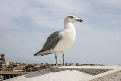 Yellow legged-gull Royalty Free Stock Photography