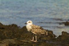 Yellow-legged Gull. Stock Image