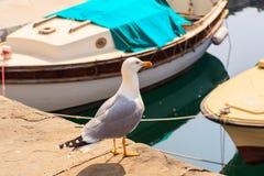 Yellow-legged gull Royalty Free Stock Photos