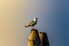Yellow-legged gull Royalty Free Stock Photo
