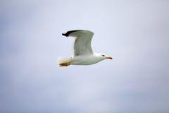 Yellow-legged gull (Laris michahellis) Royalty Free Stock Images