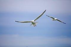 Yellow-legged gull (Laris michahellis) Royalty Free Stock Image