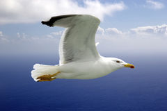Yellow-legged gull (Laris michahellis) Royalty Free Stock Photo