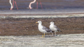 Yellow-legged Gulls of Different Ages Stock Photography