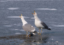 Yellow-legged Gulls (Larus michahellis) Stock Image