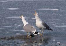 Free Yellow-legged Gulls (Larus Michahellis) Stock Image - 15228731