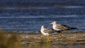 Yellow-legged Gulls Stock Photography