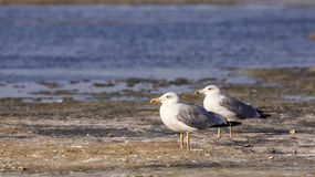 Yellow-legged Gulls Royalty Free Stock Photo