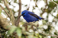 The Yellow-legged honeycreeper Stock Images